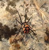 La malmignatte ou la veuve noire d'Europe se distingue par ses taches rouges ou jaunes pâles à orangées.