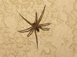 La recluse brune, une petite araignée qui peut faire de gros dégâts.